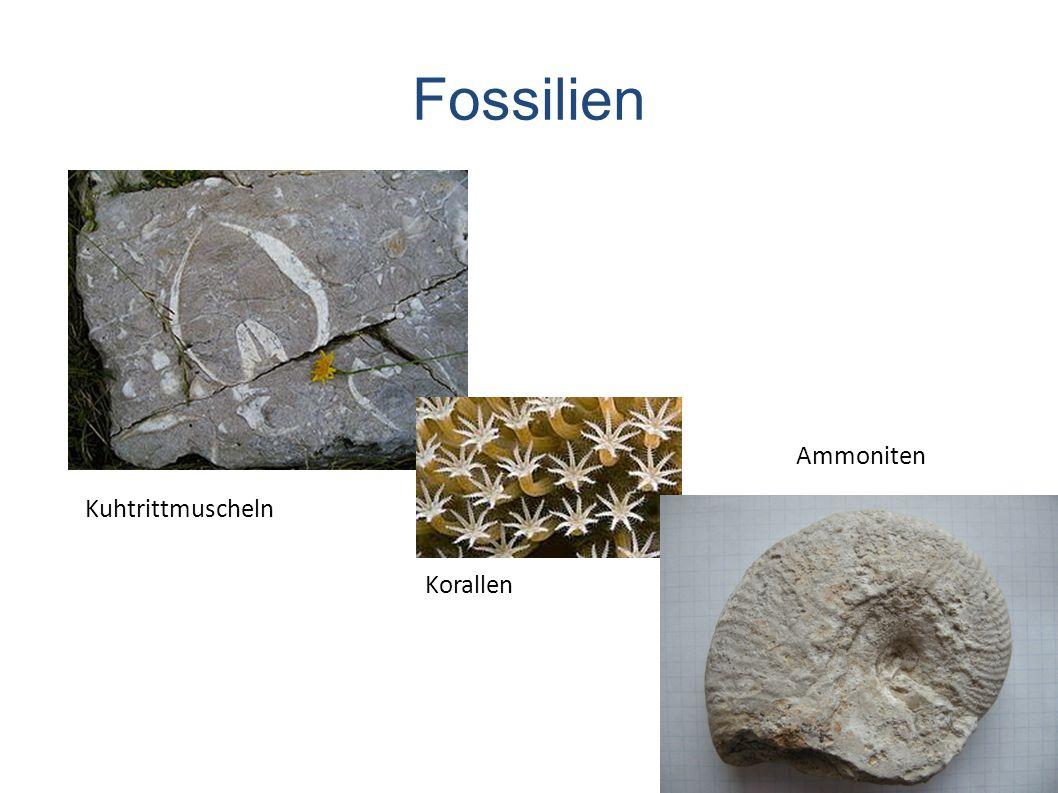 Fossilien Kuhtrittmuscheln Korallen Ammoniten