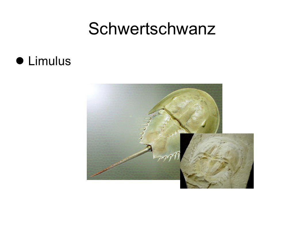 Schwertschwanz Limulus