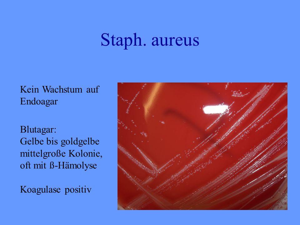 Staph. aureus Kein Wachstum auf Endoagar Blutagar: Gelbe bis goldgelbe mittelgroße Kolonie, oft mit ß-Hämolyse Koagulase positiv
