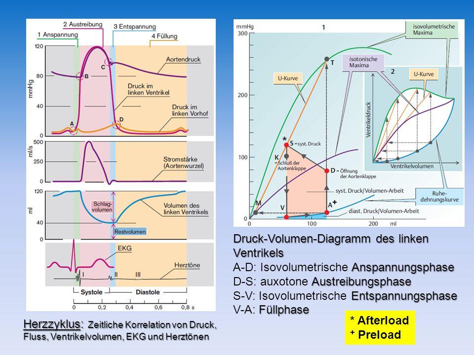 Druck-Volumen-Diagramm des linken Ventrikels Anspannungsphase A-D: Isovolumetrische Anspannungsphase Austreibungsphase D-S: auxotone Austreibungsphase Entspannungsphase S-V: Isovolumetrische Entspannungsphase Füllphase V-A: Füllphase Herzzyklus: Zeitliche Korrelation von Druck, Fluss, Ventrikelvolumen, EKG und Herztönen * Afterload + Preload * +
