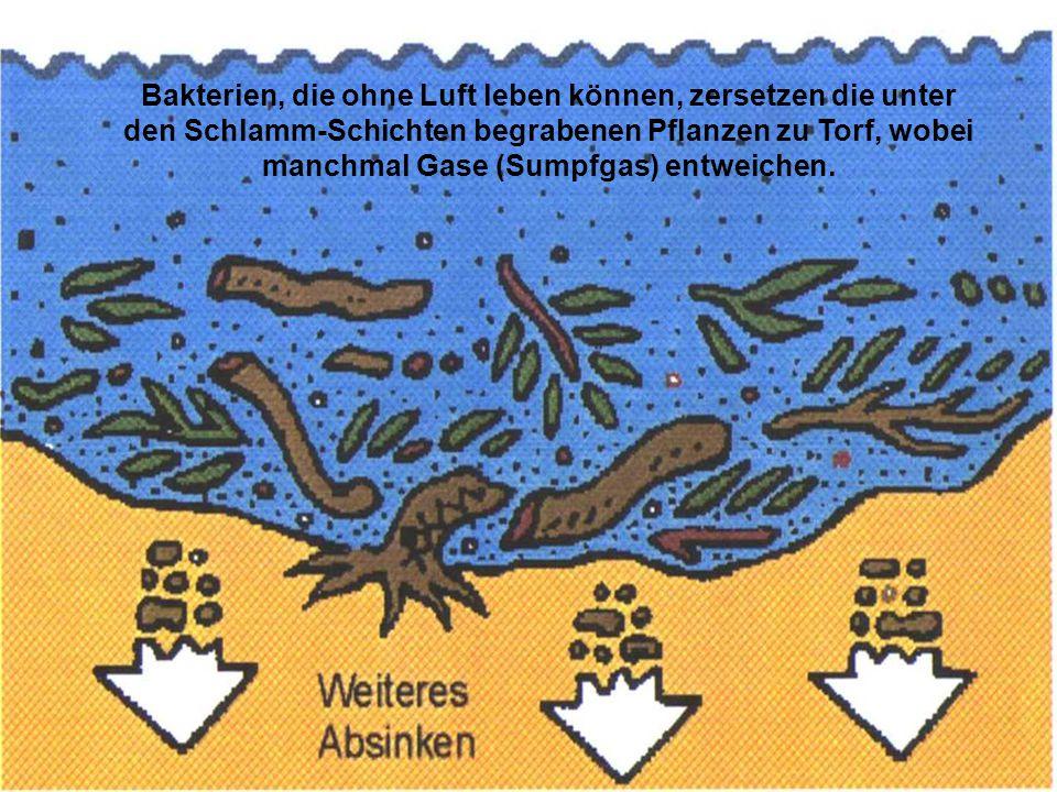 Manchmal überflutet das Meer den Sumpfwald und bedeckt den Boden mit großen Mengen an Sand und Steinen.