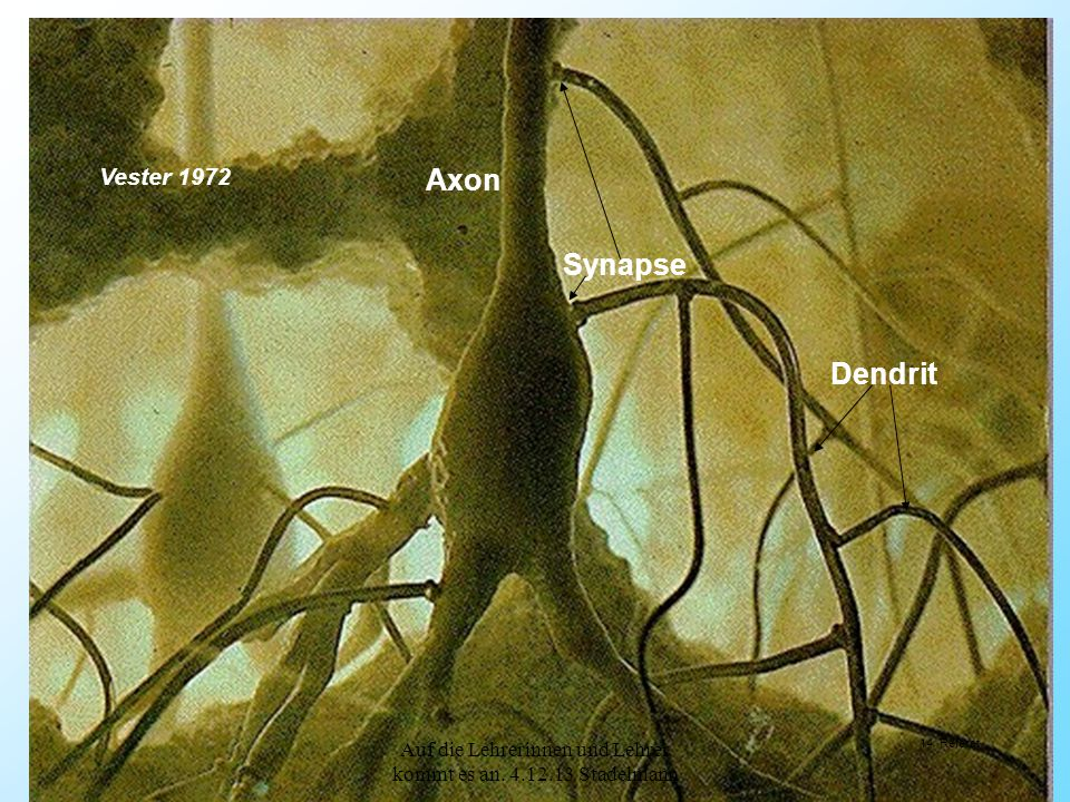 Synapse Axon Dendrit Vester 1972 14 Referat Auf die Lehrerinnen und Lehrer kommt es an. 4.12.13 Stadelmann