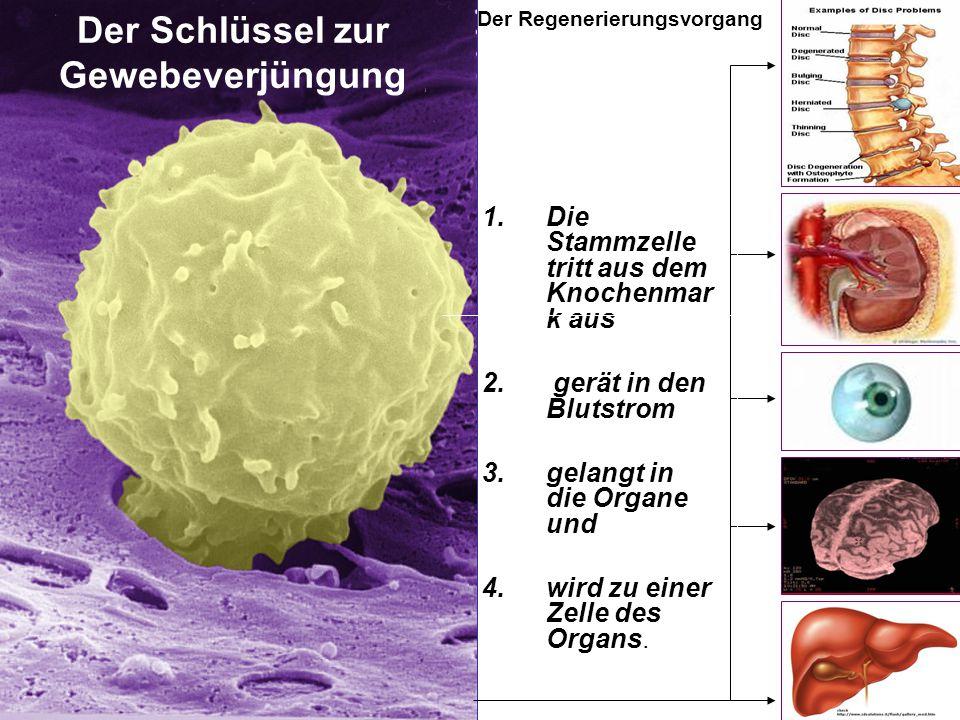 Der Regenerierungsvorgang Der Schlüssel zur Gewebeverjüngung 1.Die Stammzelle tritt aus dem Knochenmar k aus 2. gerät in den Blutstrom 3.gelangt in di