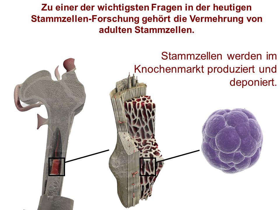 Zu einer der wichtigsten Fragen in der heutigen Stammzellen-Forschung gehört die Vermehrung von adulten Stammzellen. Stammzellen werden im Knochenmark