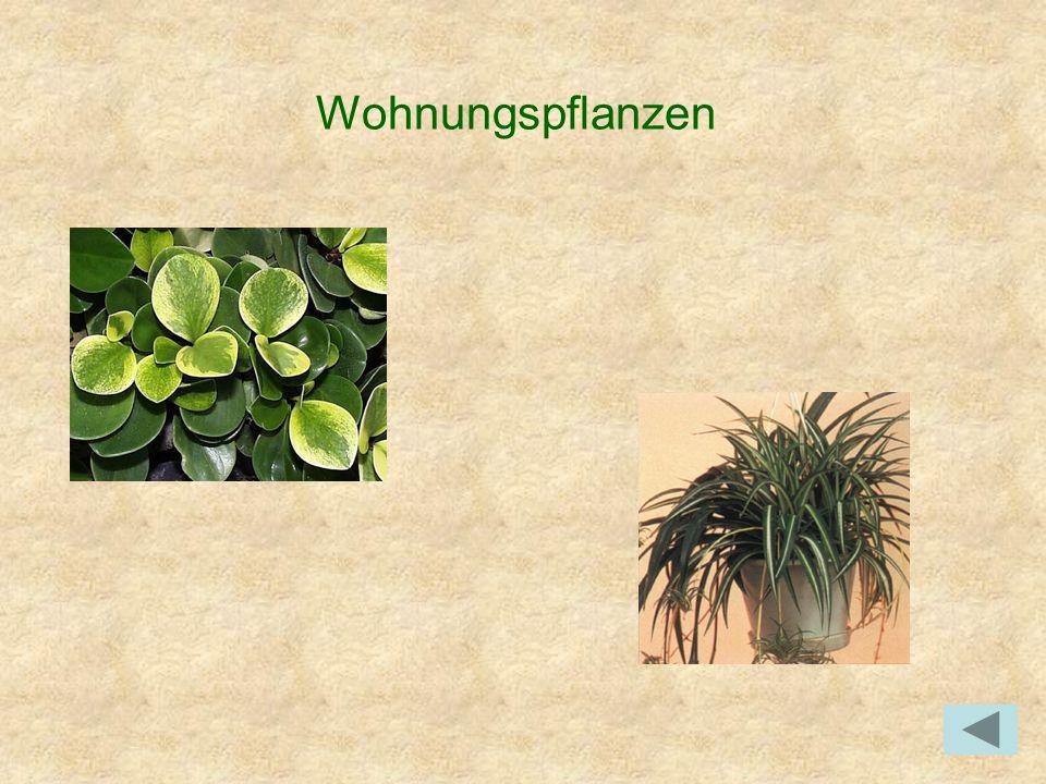 Wohnungspflanzen