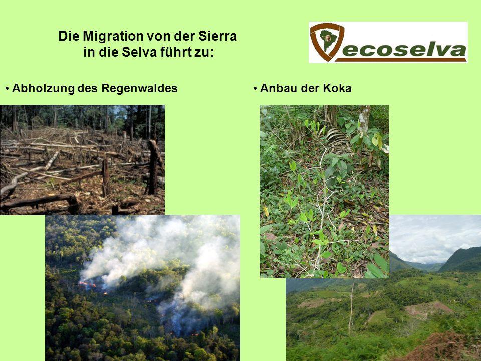 Die Migration von der Sierra in die Selva führt zu: Abholzung des Regenwaldes Anbau der Koka