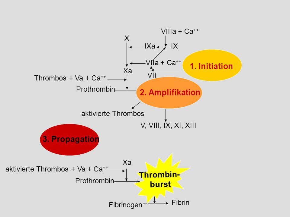 Thrombos + Va + Ca ++ Prothrombin Thrombin tissue factor aktivierte Thrombos V, VIII, IX, XI, XIII 3.