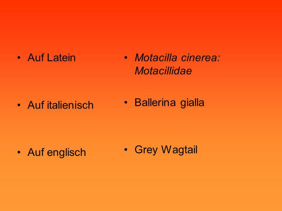 •Auf Latein •Auf italienisch •Auf englisch •Motacilla cinerea: Motacillidae •Ballerina gialla •Grey Wagtail