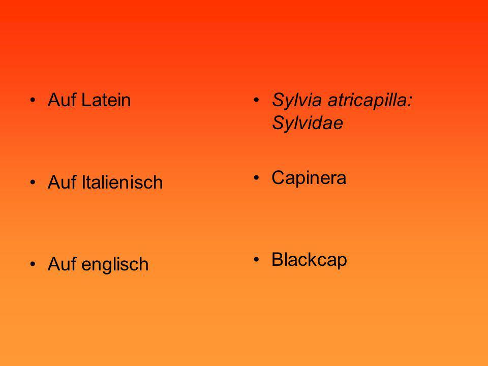 •Auf Latein •Auf Italienisch •Auf englisch •Sylvia atricapilla: Sylvidae •Capinera •Blackcap