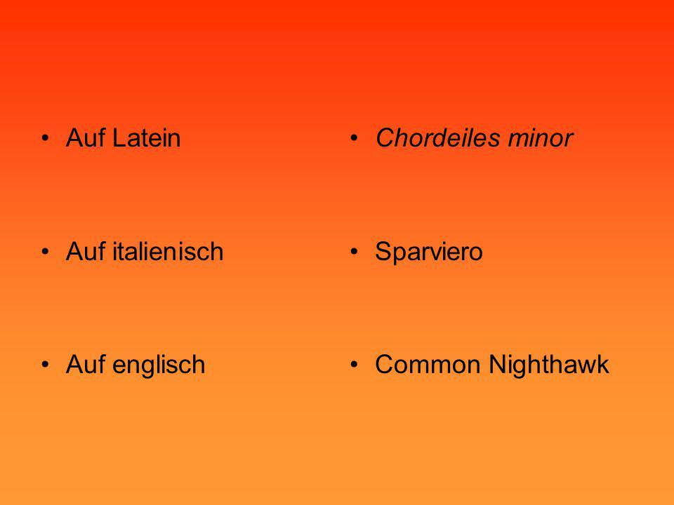 •Auf Latein •Auf italienisch •Auf englisch •Chordeiles minor •Sparviero •Common Nighthawk