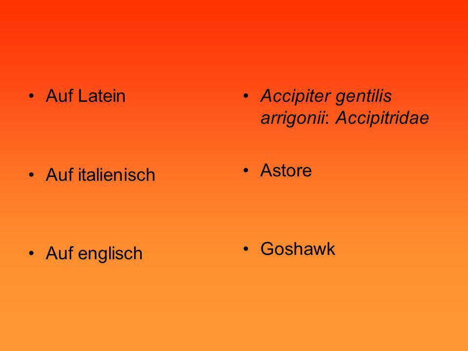 •Auf Latein •Auf italienisch •Auf englisch •Accipiter gentilis arrigonii: Accipitridae •Astore •Goshawk