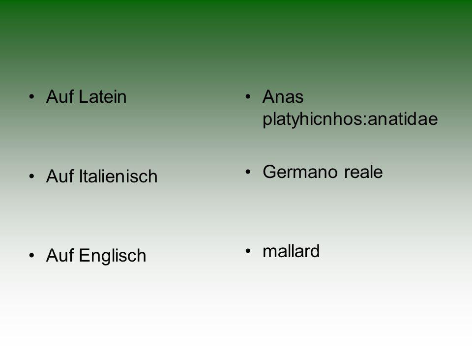 •Auf Latein •Auf Italienisch •Auf Englisch •Anas platyhicnhos:anatidae •Germano reale •mallard