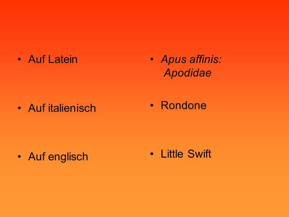 •Auf Latein •Auf italienisch •Auf englisch •Apus affinis: Apodidae •Rondone •Little Swift