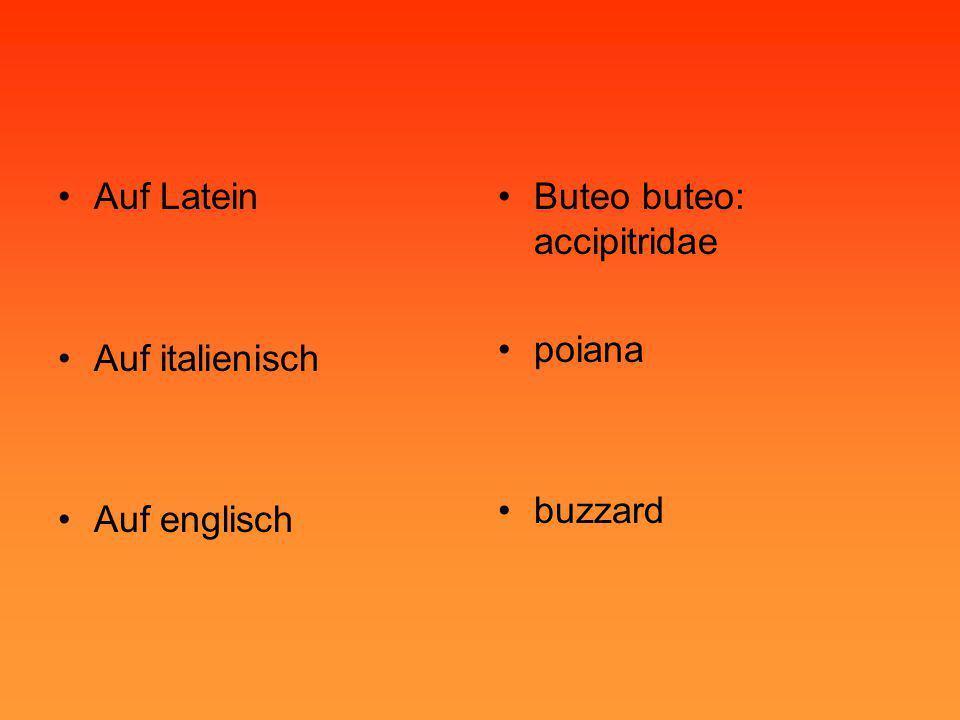 •Auf Latein •Auf italienisch •Auf englisch •Buteo buteo: accipitridae •poiana •buzzard