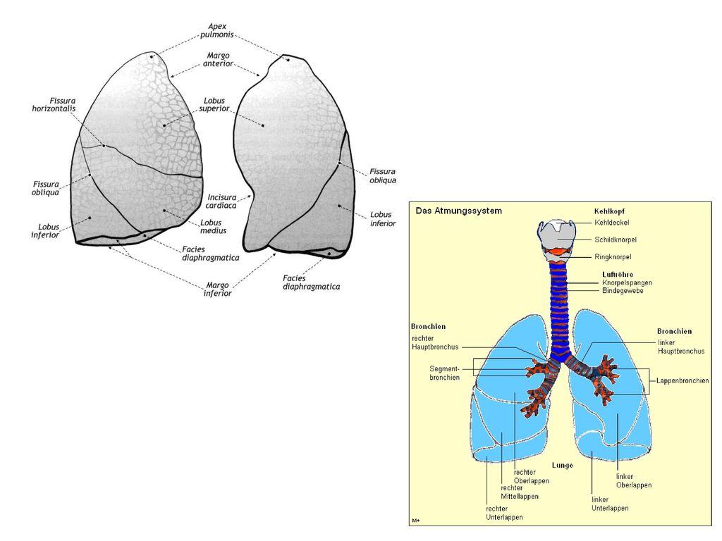 Fantastisch Menschliche Atmungssystem Anatomie Galerie - Anatomie ...