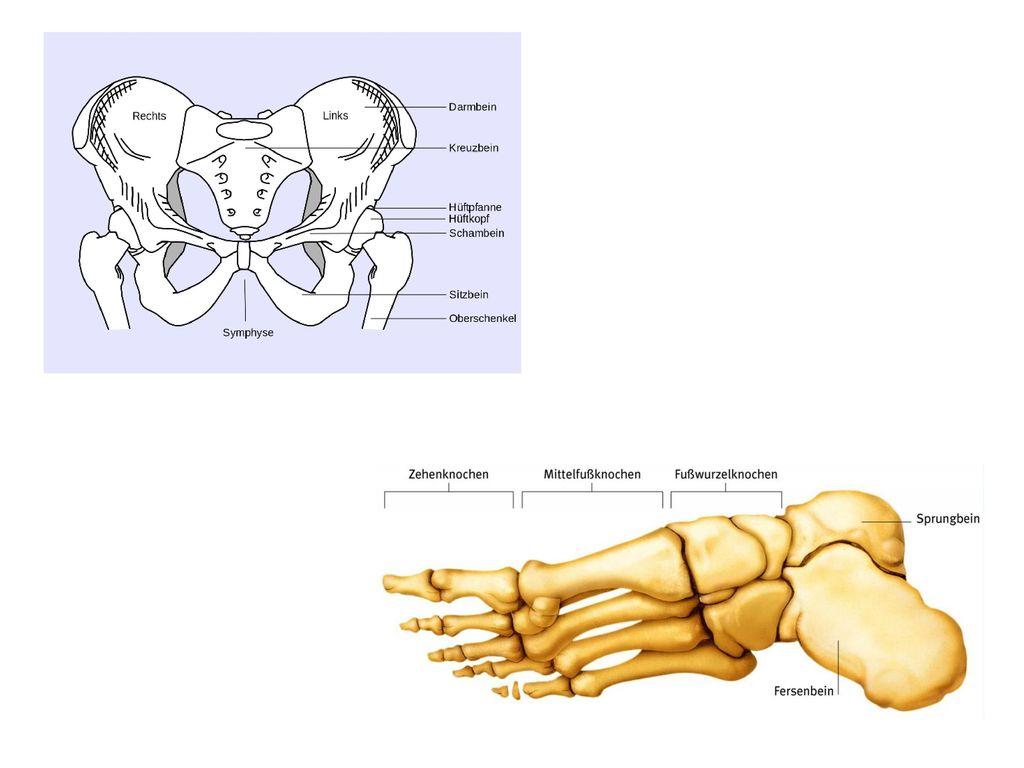 Erfreut Anatomie Der Aortenbogen Galerie - Anatomie Von Menschlichen ...