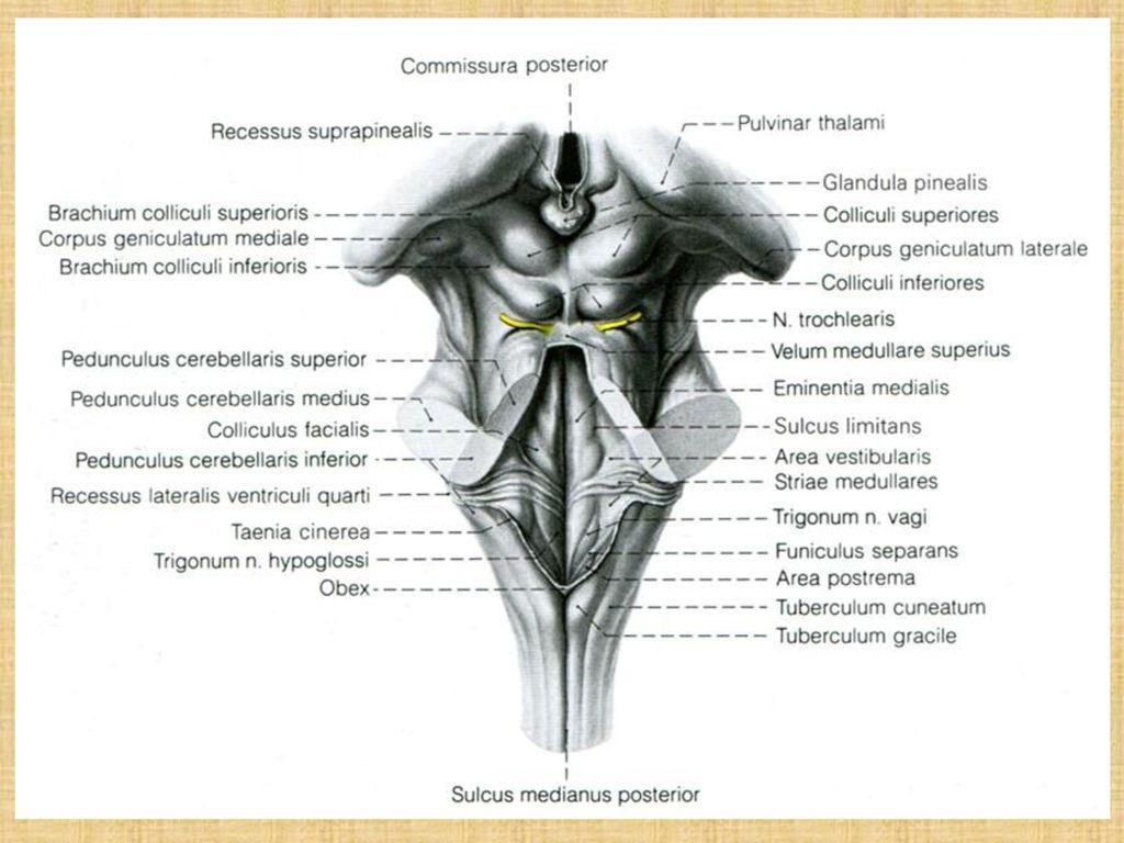 Großartig Pedunculus Cerebellaris Ideen - Anatomie Und Physiologie ...