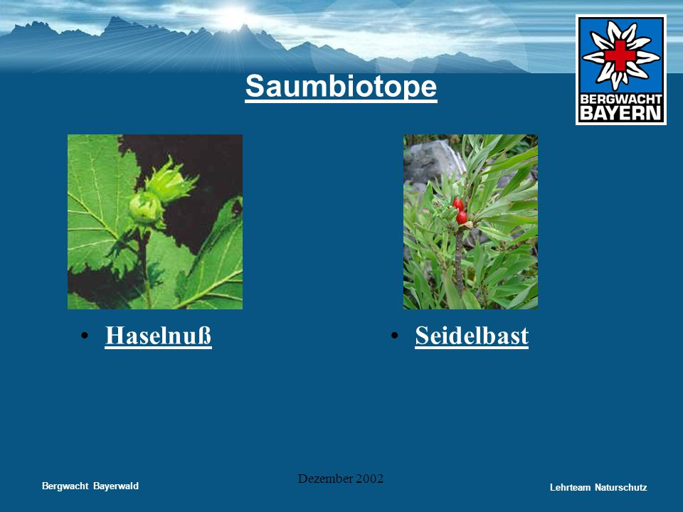 Bergwacht Bayerwald Lehrteam Naturschutz Dezember 2002 Saumbiotope •Haselnuß•Seidelbast