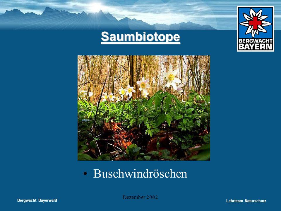 Bergwacht Bayerwald Lehrteam Naturschutz Dezember 2002 Saumbiotope •Buschwindröschen