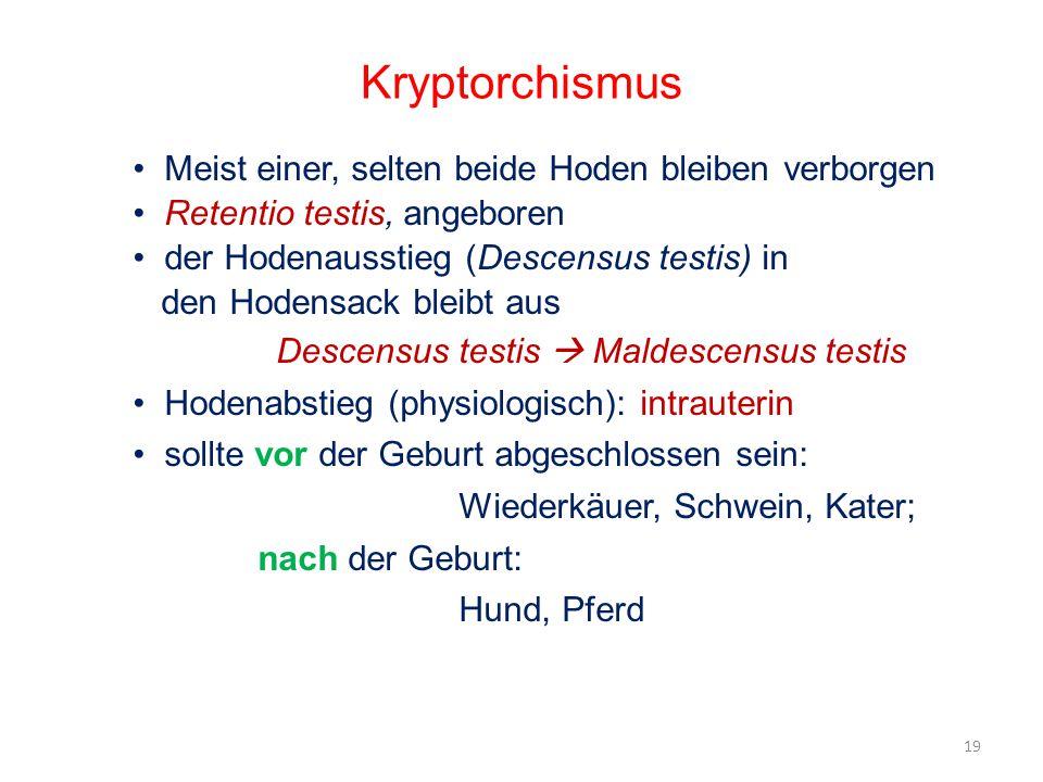 Kryptorchismus Meist einer, selten beide Hoden bleiben verborgen Retentio testis, angeboren der Hodenausstieg (Descensus testis) in den Hodensack blei