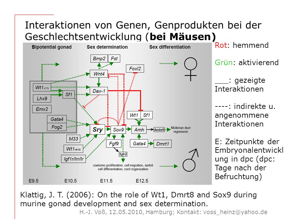 H.-J. Voß, 12.05.2010, Hamburg; Kontakt: voss_heinz@yahoo.de Interaktionen von Genen, Genprodukten bei der Geschlechtsentwicklung (bei Mäusen) Klattig