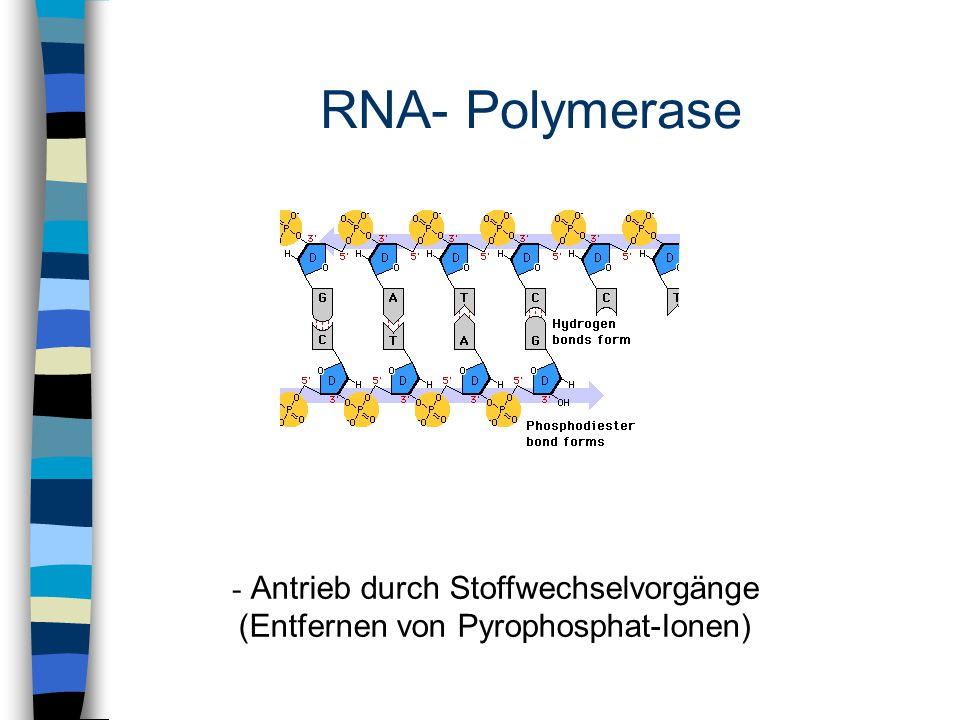 - Antrieb durch Stoffwechselvorgänge (Entfernen von Pyrophosphat-Ionen)