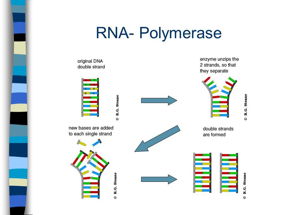 RNA- Polymerase