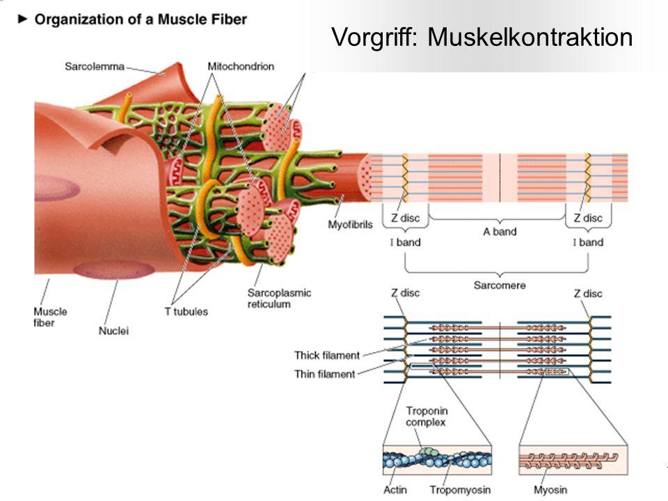 Prof. F. Wörgötter (nach M. Seibt) -- Physik für Mediziner und Zahnmediziner 20 Vorgriff: Muskelkontraktion