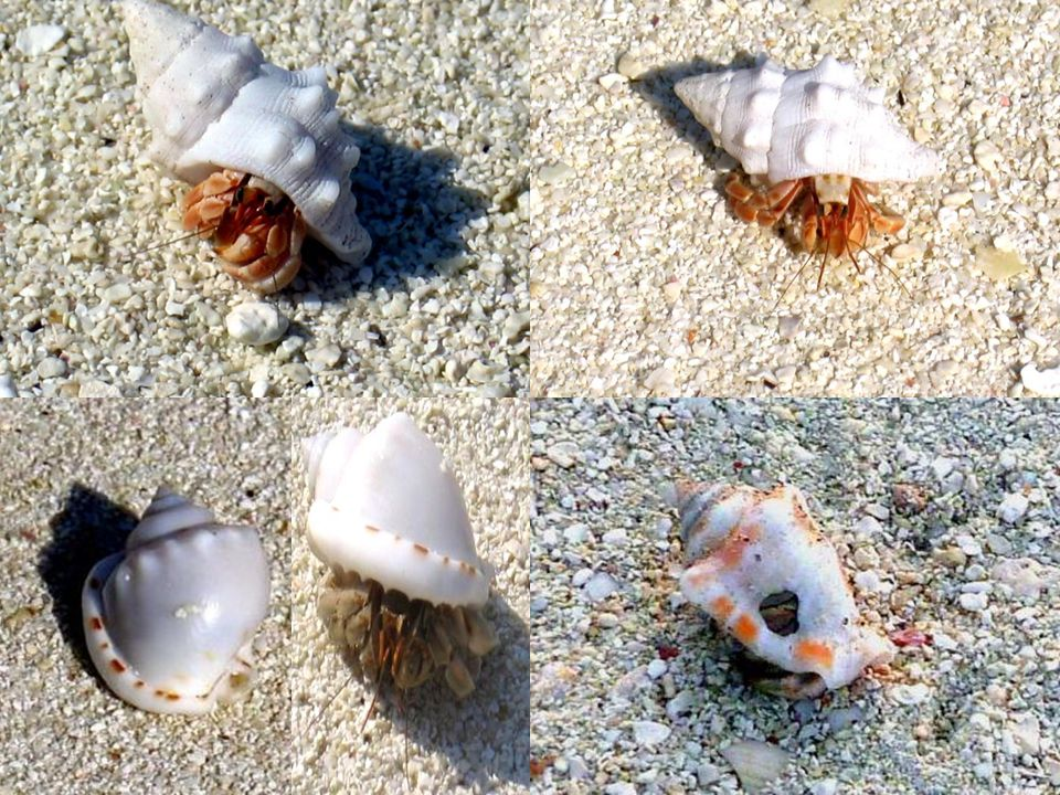 a few hermit crabs. einige einsiedlerkrebse. quelques pagures.