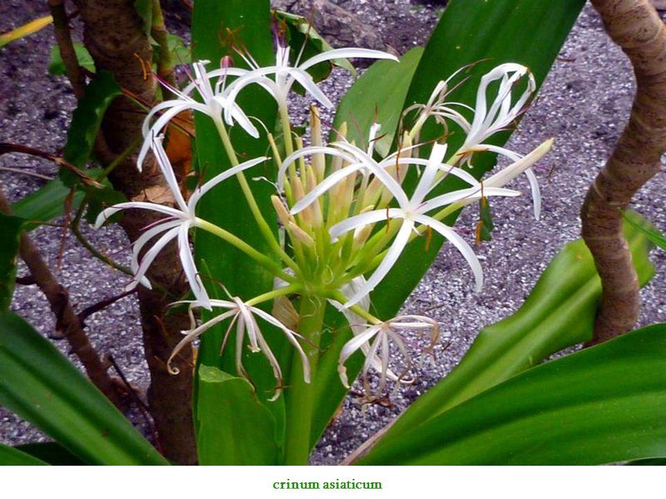 crinum asiaticum