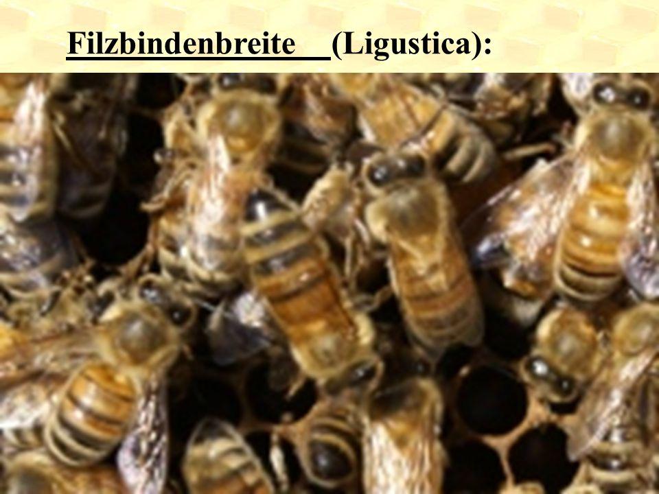 Filzbindenbreite (Ligustica):
