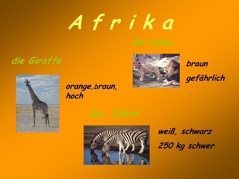 A f r i k a der Löwe braun gefährlich die Giraffe orange,b raun, hoch weiß, schwarz 250 kg schwer das Zebra