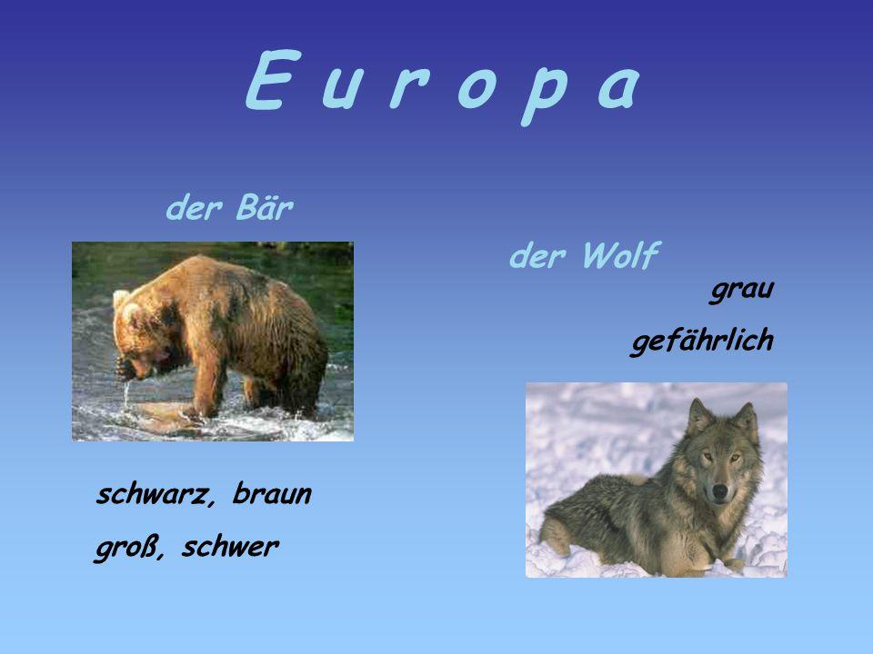 E u r o p a der Bär schwarz, braun groß, schwer der Wolf grau gefährlich