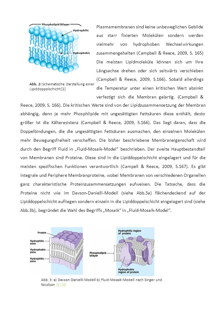 Plasmamembranen sind keine unbeweglichen Gebilde aus starr fixierten Molekülen sondern werden vielmehr von hydrophoben Wechselwirkungen zusammengehalten (Campbell & Reece, 2009, S.