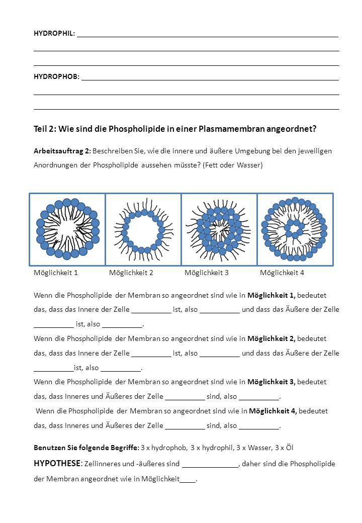 Teil 2: Wie sind die Phospholipide in einer Plasmamembran angeordnet.