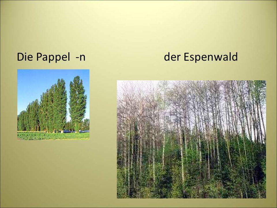 Die Pappel -n der Espenwald