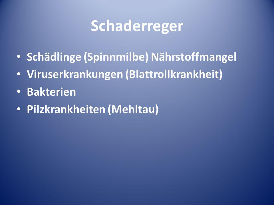 Schaderreger Schädlinge (Spinnmilbe) Nährstoffmangel Viruserkrankungen (Blattrollkrankheit) Bakterien Pilzkrankheiten (Mehltau)