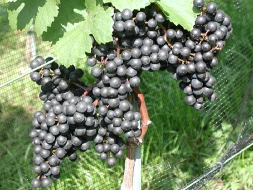 Johannes 15 Hfa 1 Ich bin der wahre Weinstock, und mein Vater ist der Weingärtner.