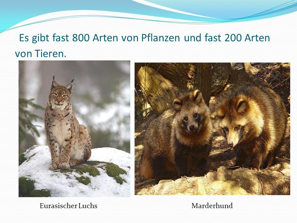 Es gibt fast 800 Arten von Pflanzen und fast 200 Arten von Tieren. Eurasischer Luchs Marderhund