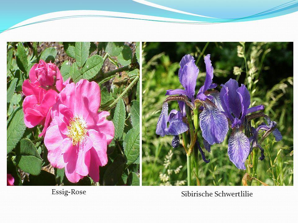 Essig-Rose Sibirische Schwertlilie