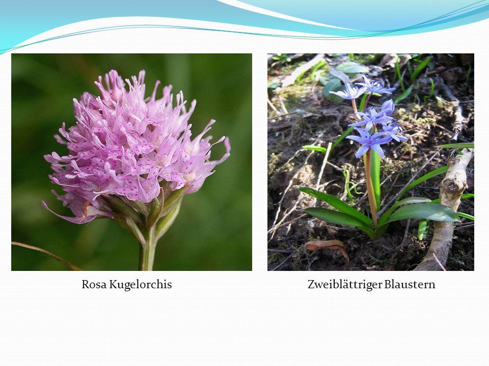 Rosa Kugelorchis Zweiblättriger Blaustern
