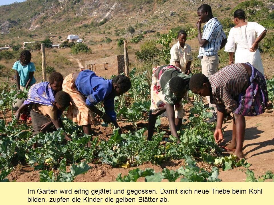 Im Garten wird eifrig gejätet und gegossen. Damit sich neue Triebe beim Kohl bilden, zupfen die Kinder die gelben Blätter ab.