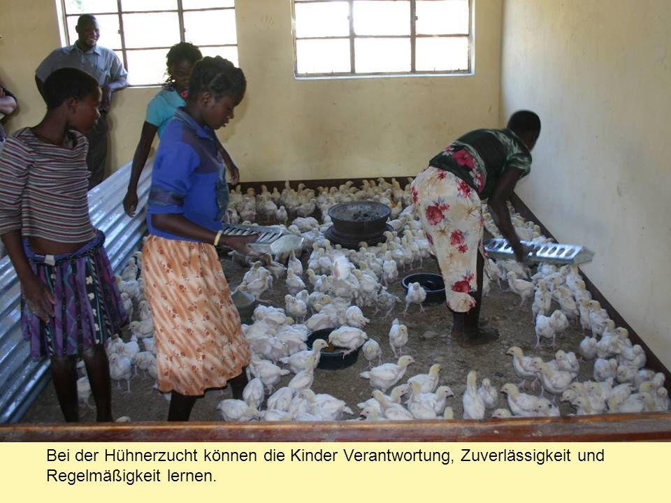 Bei der Hühnerzucht können die Kinder Verantwortung, Zuverlässigkeit und Regelmäßigkeit lernen.
