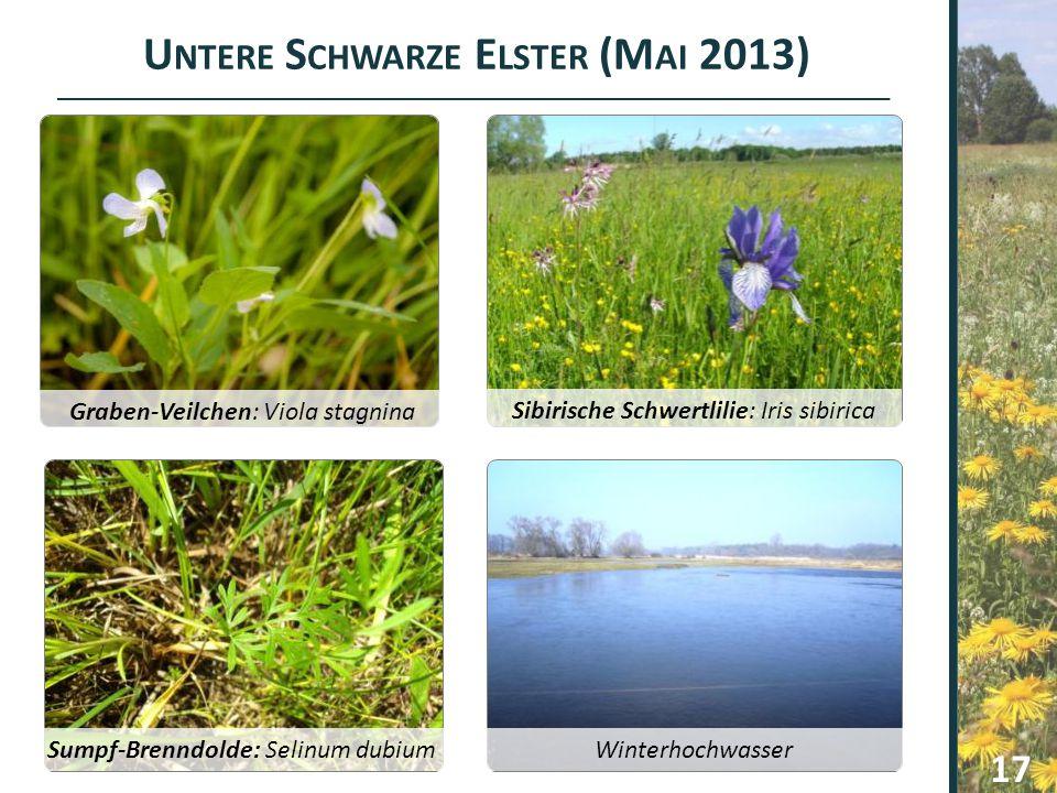 U NTERE S CHWARZE E LSTER (M AI 2013) Graben-Veilchen: Viola stagnina Sibirische Schwertlilie: Iris sibirica Sumpf-Brenndolde: Selinum dubium Winterho