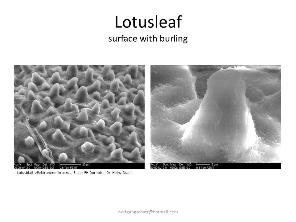 Lotusleaf surface with burling Lotusblatt eEektronenmikroskop, Bilder FH Dornbirn, Dr. Heinz Duelli wolfgangschatz@hotmail.com