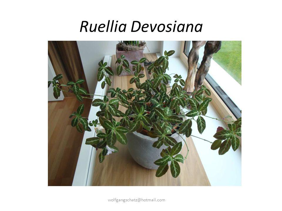 Ruellia Devosiana wolfgangschatz@hotmail.com