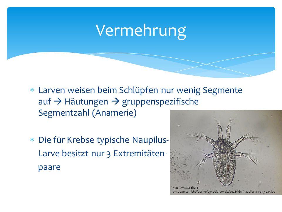  Larven weisen beim Schlüpfen nur wenig Segmente auf  Häutungen  gruppenspezifische Segmentzahl (Anamerie)  Die für Krebse typische Naupilus- Larv