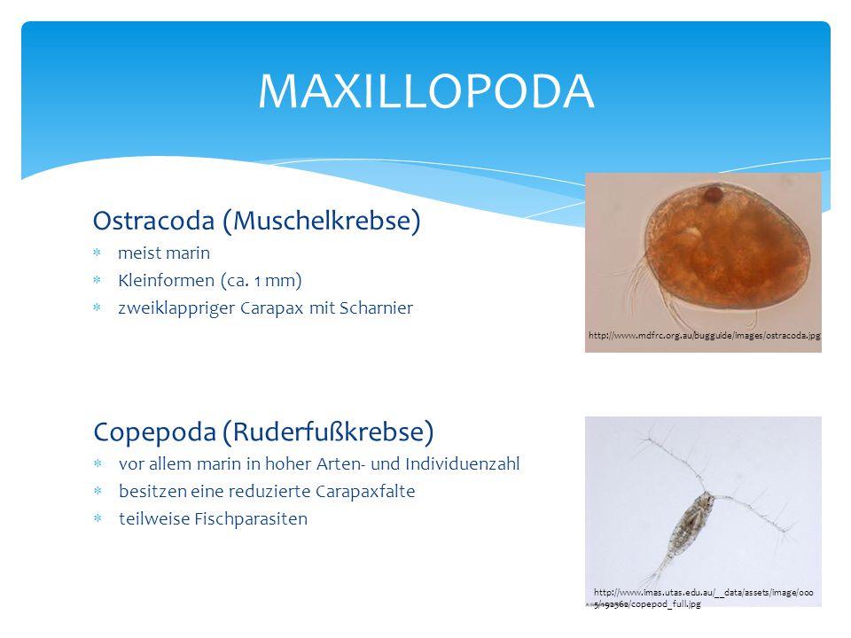 Ostracoda (Muschelkrebse)  meist marin  Kleinformen (ca. 1 mm)  zweiklappriger Carapax mit Scharnier MAXILLOPODA http://www.mdfrc.org.au/bugguide/i
