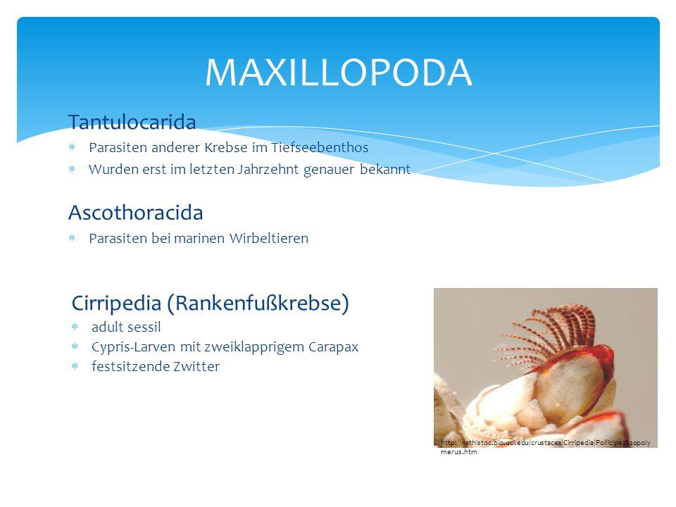 Tantulocarida  Parasiten anderer Krebse im Tiefseebenthos  Wurden erst im letzten Jahrzehnt genauer bekannt MAXILLOPODA Ascothoracida  Parasiten be