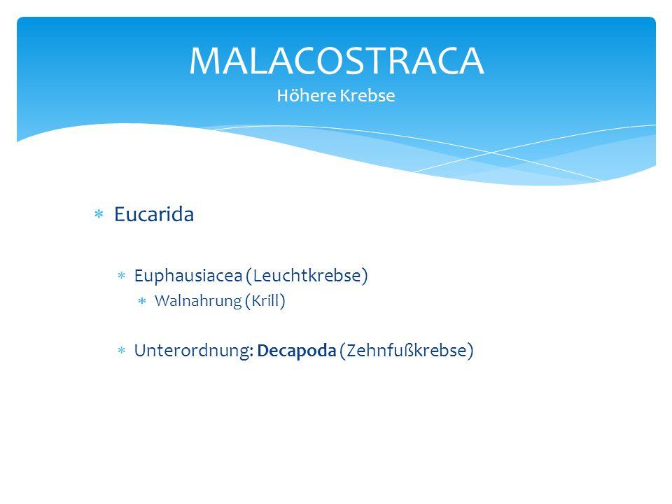  Eucarida  Euphausiacea (Leuchtkrebse)  Walnahrung (Krill)  Unterordnung: Decapoda (Zehnfußkrebse) MALACOSTRACA Höhere Krebse